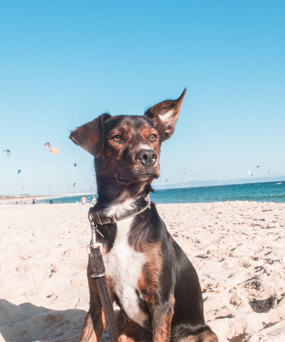 Sir Lobo en la playa