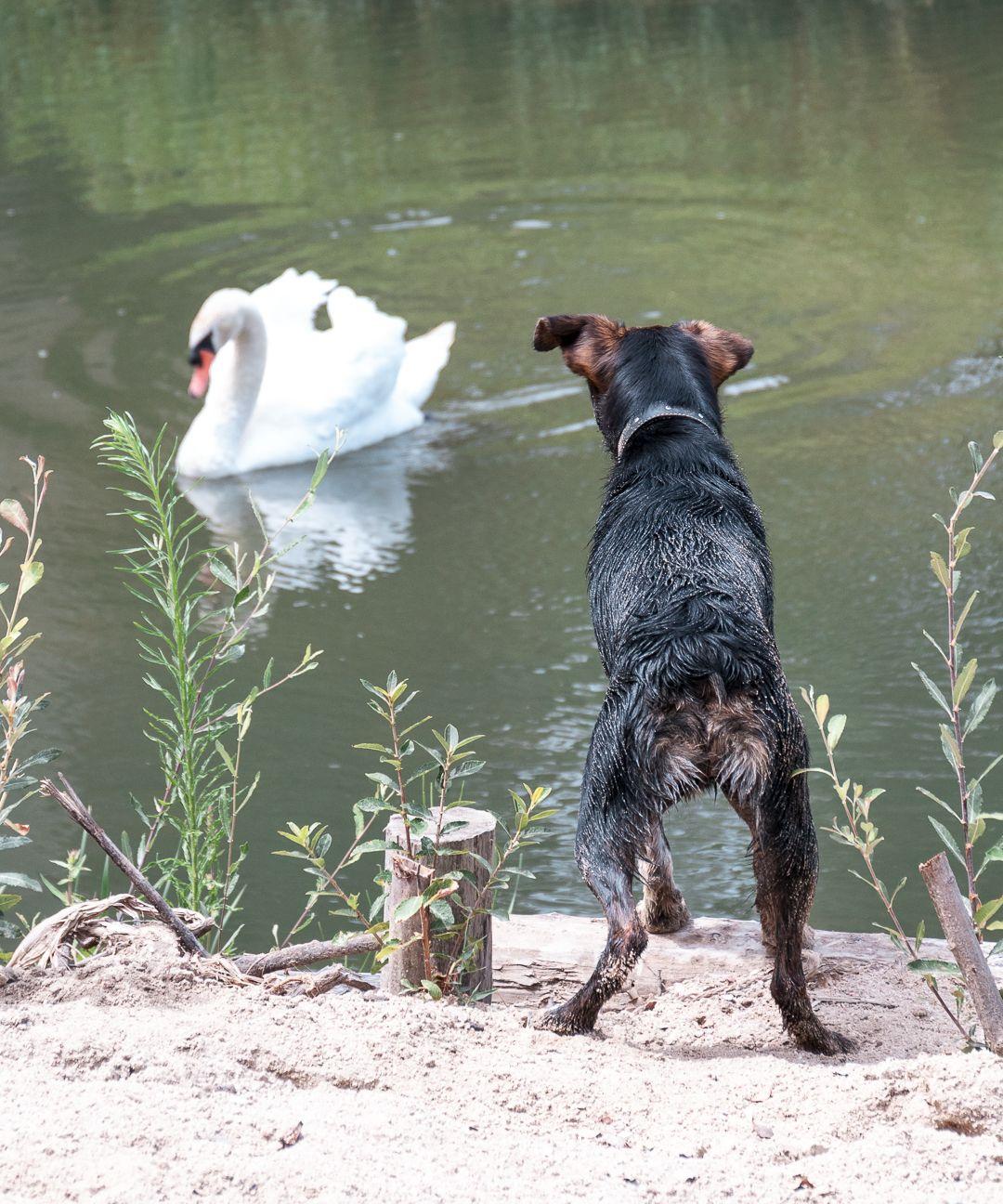 Sir lobo y el cisne