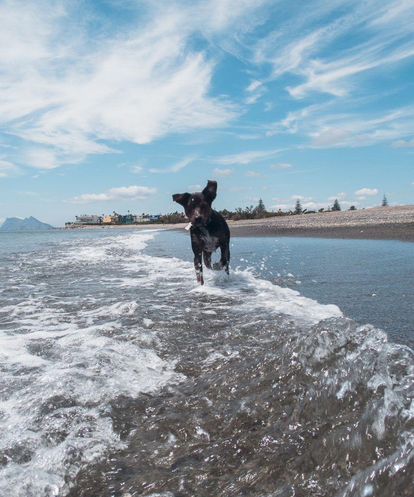 Sir lobo en el agua